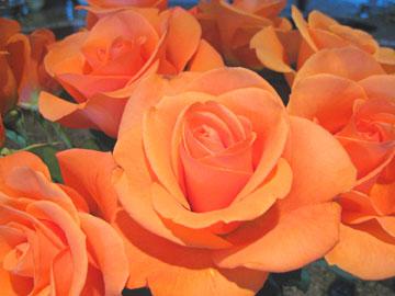 Roses_close_web